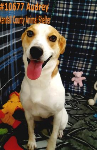 Mix-Bred AMERICAN FOXHOUND Female  Adult  Dog #Adoptable634720160919#  - click here to view larger pic