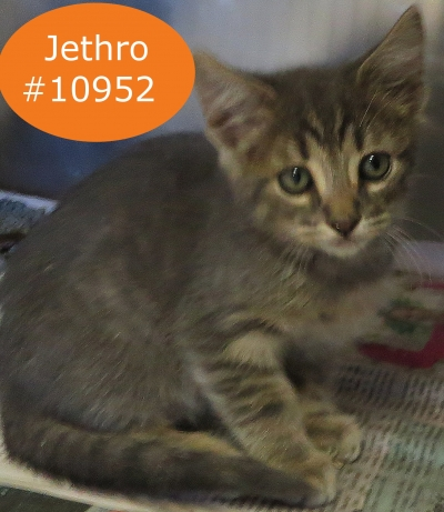 DOMESTIC SHORTHAIR Male  Young  Kitten #Adoptable782820161117#  - click here to view larger pic