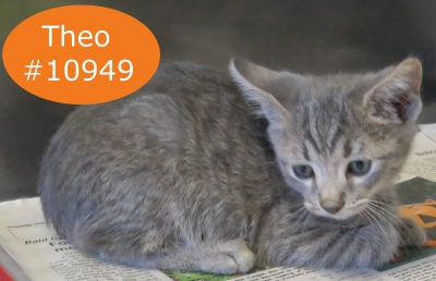 DOMESTIC SHORTHAIR Male  Young  Kitten #Adoptable923520161117#  - click here to view larger pic