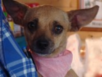 CHIHUAHUA - SMOOTH COATED Female  Adult  Dog #Alice775320141212#  - click here to view larger pic