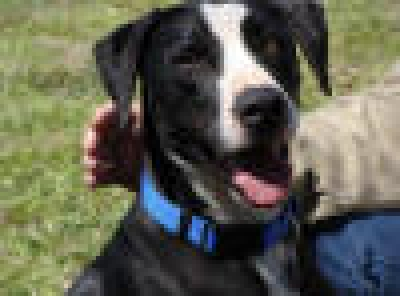 Mix-Bred GREAT DANE Male  Adult  Dog #BenStiller244720120131#  - click here to view larger pic
