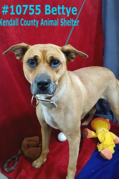 Mix-Bred BLACK MOUTH CUR Female  Adult  Dog #Bettye424820161026#  - click here to view larger pic