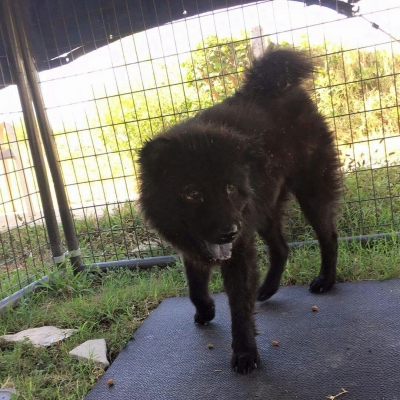 CHOW CHOW Male  Older  Dog #Black375520160723#  - click here to view larger pic