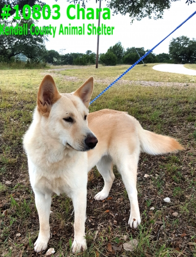 Mix-Bred SHEPHERD GROUP Female  Young  Puppy #Chara489720161026#  - click here to view larger pic