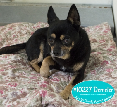 Mix-Bred CHIHUAHUA - SMOOTH COATED Male  Older  Dog #Demeter622320160614#  - click here to view larger pic