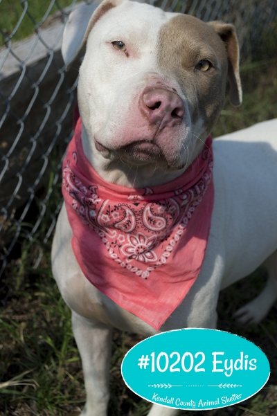 Mix-Bred PIT BULL TERRIER Female  Adult  Dog #Eydis792720160614#  - click here to view larger pic