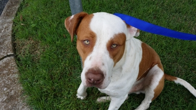 Mix-Bred PIT BULL TERRIER Dog #FOUND442420160520#  - click here to view larger pic