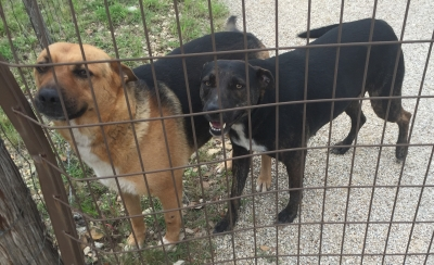 Mix-Bred GERMAN SHEPHERD DOG Female  Adult  Dog #FOUND622620160525#  - click here to view larger pic