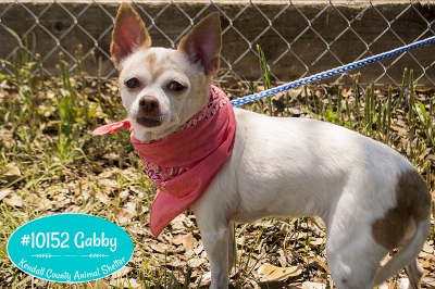 Mix-Bred CHIHUAHUA - SMOOTH COATED Female  Older  Dog #Gabby428620160615#  - click here to view larger pic