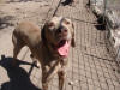 WEIMARANER Male  Adult  Dog #Gonzo455220120131#  - click here to view larger pic