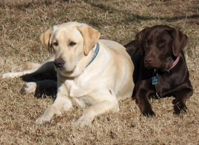 LABRADOR RETRIEVER Male  Adult  Dog #Harley366220160531#  - click here to view larger pic