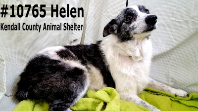 Mix-Bred AUSTRALIAN CATTLE DOG Female  Older  Dog #Helen827320161026#  - click here to view larger pic