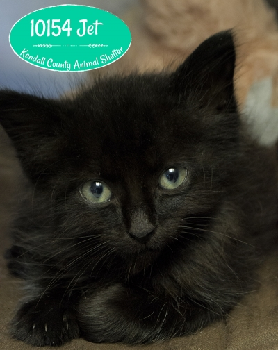 Mix-Bred DOMESTIC LONGHAIR Male  Young  Kitten #Jet863920160615#  - click here to view larger pic