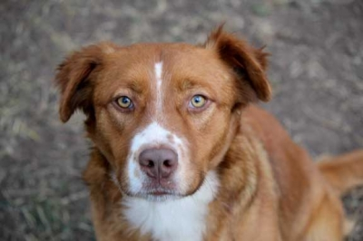 Mix-Bred BRITTANY Dog #KATEESACKHOFF584320141214#  - click here to view larger pic