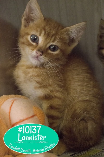 Mix-Bred DOMESTIC SHORTHAIR Young  Kitten #Lannister842620160615#  - click here to view larger pic