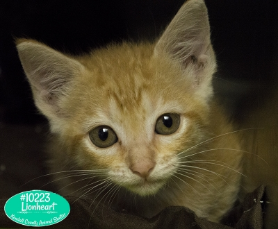 Mix-Bred DOMESTIC SHORTHAIR Male  Young  Kitten #Lionheart333520160615#  - click here to view larger pic