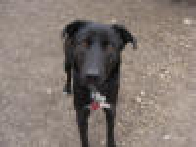 Mix-Bred LABRADOR RETRIEVER Female  Adult  Dog #LittleGirl275920120131#  - click here to view larger pic