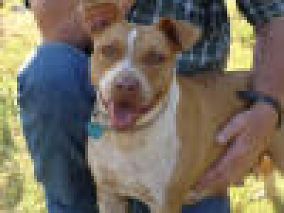 Mix-Bred PIT BULL TERRIER Female  Adult  Dog #LoisLane525520120131#  - click here to view larger pic