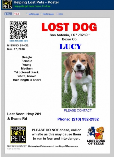 BEAGLE Female  Adult  Dog #Lucy996320160322#  - click here to view larger pic