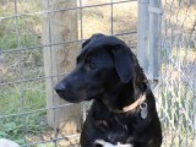 Mix-Bred LABRADOR RETRIEVER Male  Adult  Dog #MARLIN724320141212#  - click here to view larger pic