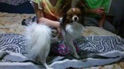 PAPILLON Male  Adult  Dog #Mac525220160226#  - click here to view larger pic