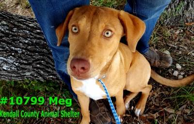 Mix-Bred LABRADOR RETRIEVER Female  Young  Puppy #Meg576220161026#  - click here to view larger pic