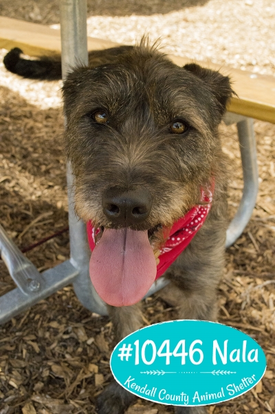 Mix-Bred TERRIER GROUP Female  Adult  Dog #Nala498220160728#  - click here to view larger pic
