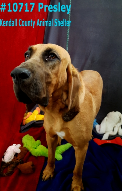 BLOODHOUND Female  Adult  Dog #Presley695220161026#  - click here to view larger pic