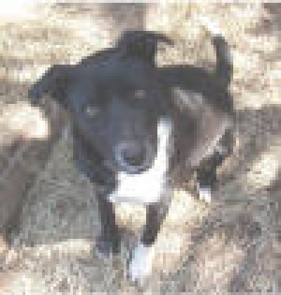 Mix-Bred BORDER COLLIE Female  Adult  Dog #Rockett872320120131#  - click here to view larger pic