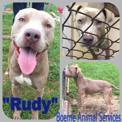 PIT BULL TERRIER Male  Adult  Dog #Rudy643320160414#  - click here to view larger pic