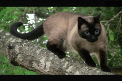 SIAMESE Male  Adult  Cat #Rufus225920160313#  - click here to view larger pic
