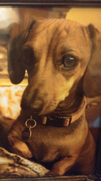DACHSHUND Dog #Sammie335720160906#  - click here to view larger pic