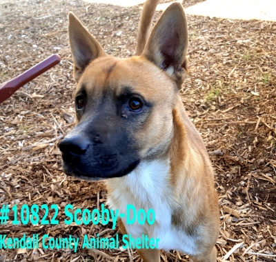Mix-Bred BLACK MOUTH CUR Male  Adult  Dog #Scooby-Doo865820161026#  - click here to view larger pic