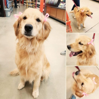 GOLDEN RETRIEVER Female  Adult  Dog #Scout836920170125#  - click here to view larger pic