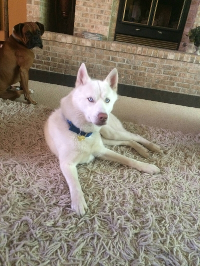 SIBERIAN HUSKY Male  Adult  Dog #Titan763220160125#  - click here to view larger pic