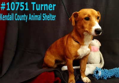 Mix-Bred CORGI Male  Young  Puppy #Turner675220161026#  - click here to view larger pic