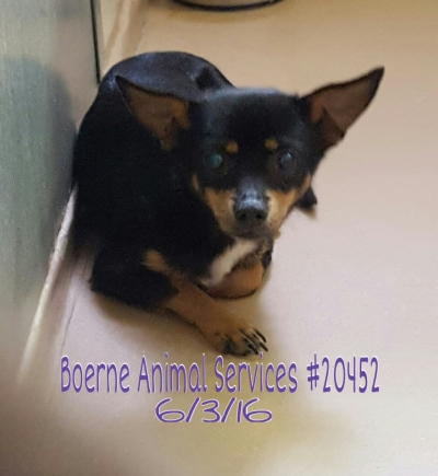 Mix-Bred CHIHUAHUA - SMOOTH COATED Male  Dog #Unknown229420160607#  - click here to view larger pic
