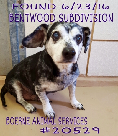 Mix-Bred DACHSHUND Older  Dog #Unknown673620160623#  - click here to view larger pic