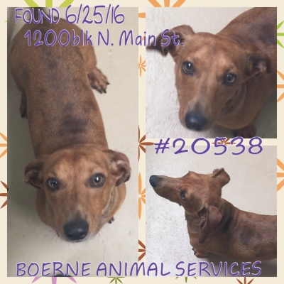 DACHSHUND Adult  Dog #Unknown893320160625#  - click here to view larger pic