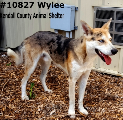Mix-Bred SHEPHERD GROUP Male  Adult  Dog #Wylee626520161026#  - click here to view larger pic