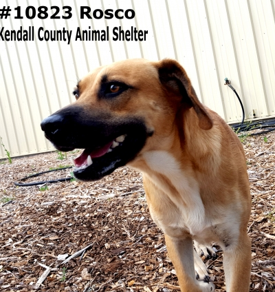 Mix-Bred BLACK MOUTH CUR Male  Adult  Dog #rosco933720161026#  - click here to view larger pic