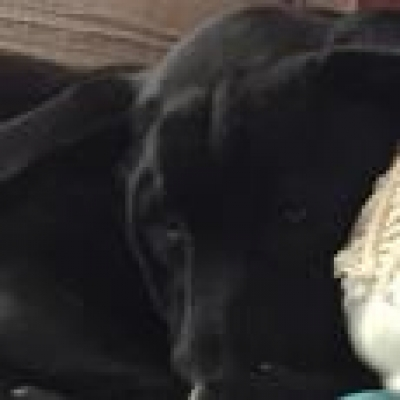 Mix-Bred LABRADOR RETRIEVER Female  Adult  Dog #susieq236920170224#  - click here to view larger pic